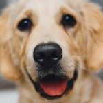 golden-retreiver-926732_1280
